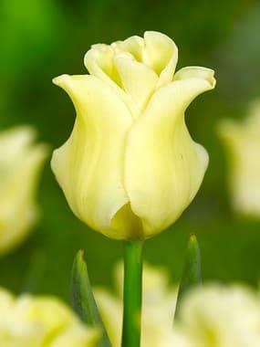 Crown Tulip Bulbs