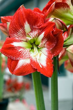 Giant Amaryllis bulbs for Sale