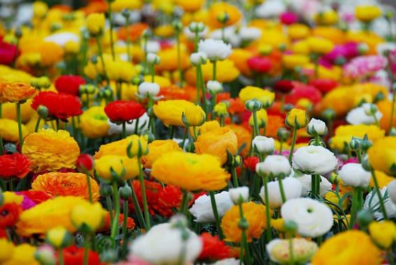 Ranunculus Buttercups Bulbs and Flowers