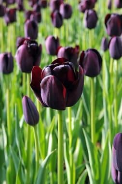 Single Late Tulips
