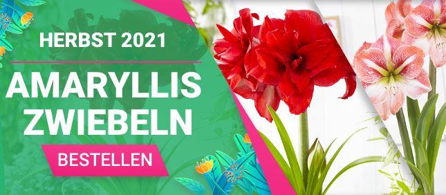 Amaryllis Zwiebeln
