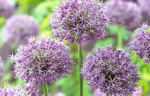 Allium Zwiebeln