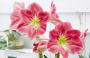 Amaryllis (Hippeastrum)🌷 (Bulbs, Seeds and Tubers)