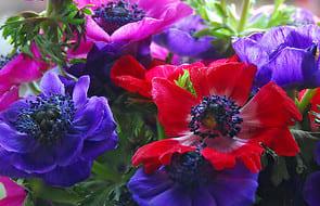 Anemones (Wind Flowers)🌷 (Bulbs, Seeds and Tubers)