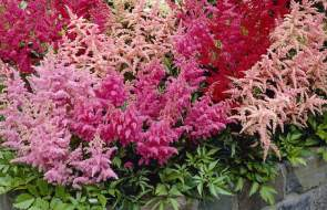 Astilbe Plants (False Spirea)