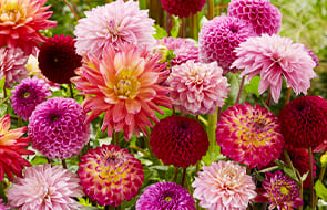 Dahlia Bulbs and Tubers