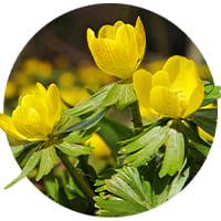 Eranthis (Winter Aconite)🌷 (Bulbs, Seeds and Tubers)