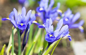 Iris Bulbs🌷 (Bulbs, Seeds and Tubers)