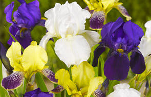 Iris Perennials Bare-Root Plants