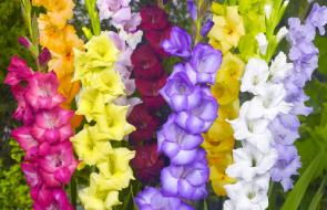 Large Flowering Gladiolus
