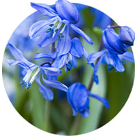 Scilla (Siberian Squill)🌷 (Bulbs, Seeds and Tubers)