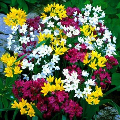 Allium Kollektionture