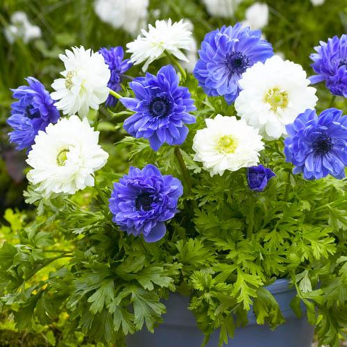 Anemone Blue and White Рњix