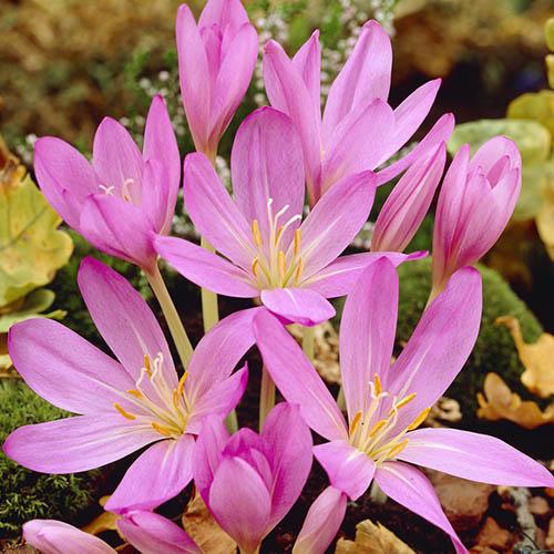 Colchicum РЎilicicum Purpureum