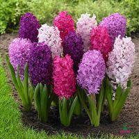 Hyacinth Berries Mix
