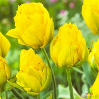 Tulip Tropical Wave