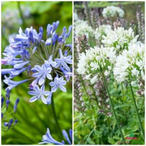 Agapanthus Blue and White Combo