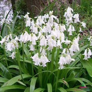 Hyacinthоides Alba Maxima