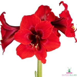 Amaryllis (Hippeastrum) Fire Dancer