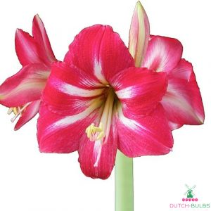Amaryllis (Hippeastrum) Hot Lips