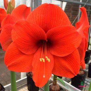 Amaryllis (Hippeastrum) Orange Souvereign - order online at DUTCH-BULBS.COM