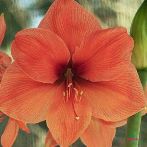 Amaryllis (Hippeastrum) Peach Melba - order online at DUTCH-BULBS.COM