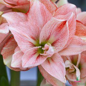 Amaryllis/Hippeastrum Pink Glory