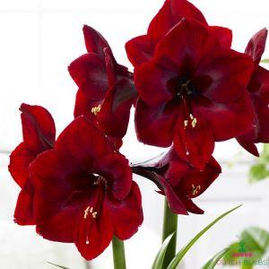 Amaryllis (Hippeastrum) Royal Velvet