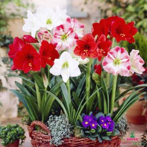 Amaryllis (Hippeastrum) Single Mix
