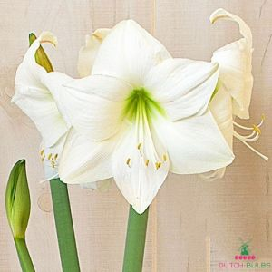 Amaryllis (Hippeastrum) Wedding Dance