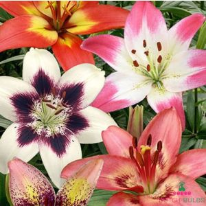 Lilium Asiatic Bi-colour MIX