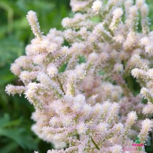 Astilbe (japonica) Europa