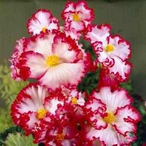 Begonia Crispa Marginana White-Red