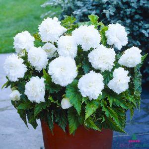 Begonia Fimbriata White