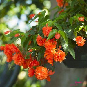 Begonia Pendula Orange