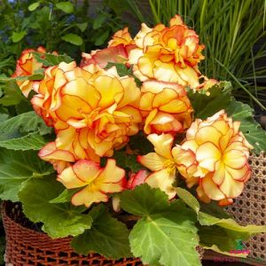 Begonia Picotee