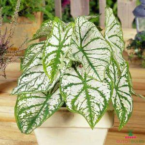 Caladium (Fancy leaf) White Christmas