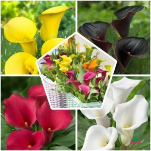 Calla Lilies Rainbow Collection
