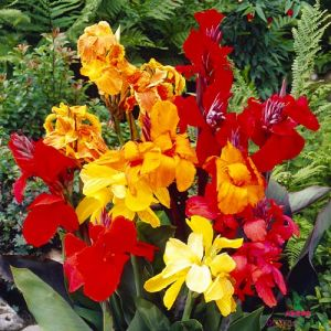Canna Lily Dwarf Collection