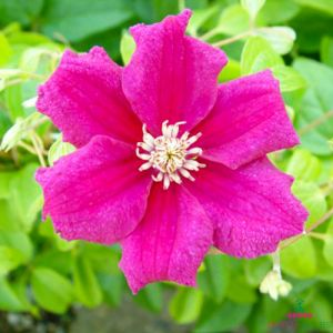 Clematis Ernest Markham (Patens Group)