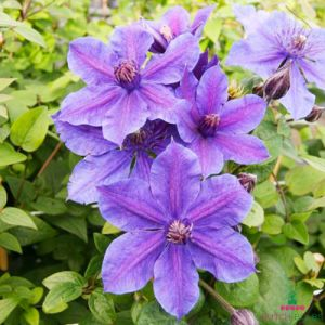Clematis MON AMOUR (Patens Group)