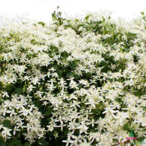 clematis-terniflora
