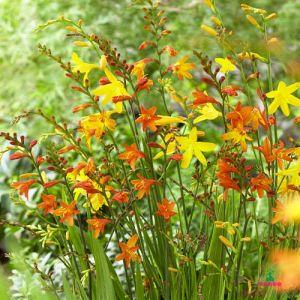 Cocosmia Small Flowering Mixture