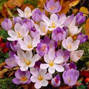 Crocus Autumn Flowering Mix