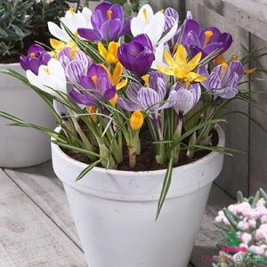 Crocus Largeflowering Mix