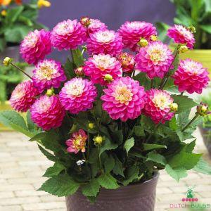 Dahlia Pink Allegro
