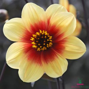 Dahlia Sunshine (Moonfire)