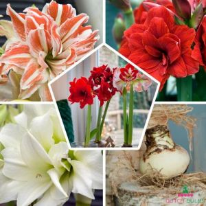 Amaryllis (Hippeastrum) Double Mix