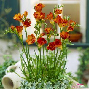 Freesia Double flowering Orange