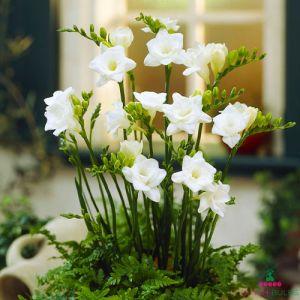 Freesia Double flowering White